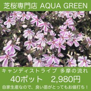 芝桜(シバザクラ)40ポット キャンディストライプ(多摩の流れ)