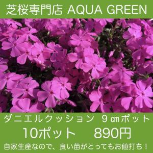 芝桜(シバザクラ)10ポット ダニエルクッション