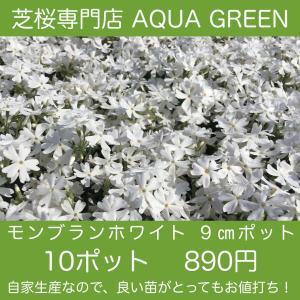 モンブランホワイト 10ポット 芝桜(シバザクラ)