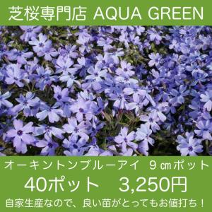 芝桜(シバザクラ)40ポット オーキントンブルーアイ