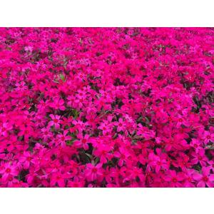 芝桜(シバザクラ)10ポット スカーレットフレーム(赤花)