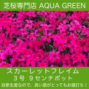 芝桜(シバザクラ)40ポット スカーレットフレーム(赤花)