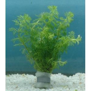 アンブリアはキクモの和名を持つ日本の在来種でキンギョモと呼ばれる最もポピュラーな有茎水草のひとつです...