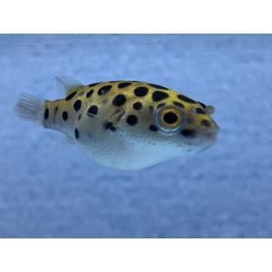 東南アジアの汽水域・河口域に生息しているミドリフグです!!   ・海水と淡水の中間を好む熱帯魚で、背...