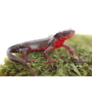 皮膚がザラザラしていて、背中側は黒または茶褐色。 腹は赤地に黒の斑点模様になっています。 赤みや斑点...