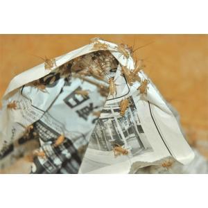 サイズ:1匹 5〜10mm  7月〜9月末までの期間は、紙袋に入れて発送させて頂きます。  【生体の...