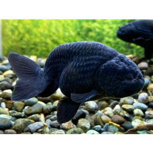 国産黒ランチュウと比べて、全体に黒がはっきりと腹まで よく黒がのっています。(底腹は若干色が落ちます...