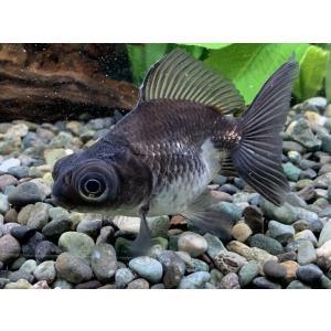 金魚 パンダ出目金(サイズ:約3〜4cm) 2020年1月18日入荷