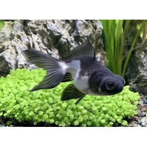 金魚 パンダ出目金(サイズ:約6〜7cm) 2020年2月22日入荷|aquapet|02
