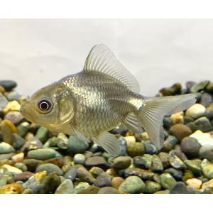 青文魚 (4〜5cm)2020年2月22日入荷