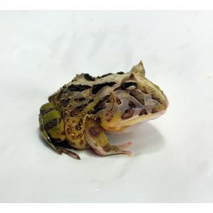 飼飼育する時の床材は、乾燥をさせないで必ず水を含ませてください。 温度は、25℃〜30℃くらい 餌は...