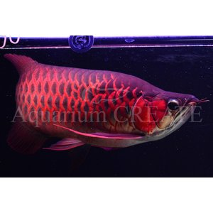 Super Red Short Body 43cm±|aquashop-create|02