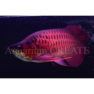 Super Red Short Body 43cm±|aquashop-create|03