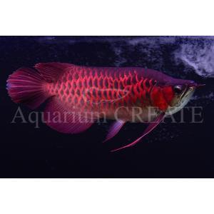 Super Red Short Body 43cm±|aquashop-create|04