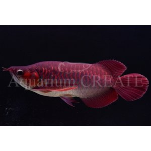 Super Red Short Body 43cm±|aquashop-create|05