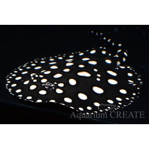 ダイヤモンドポルカ♂ 体盤長19cm±|aquashop-create|03