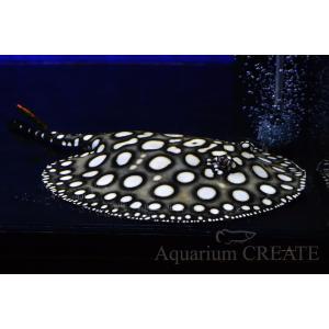 ダイヤモンドポルカGalaxy♂体盤長18cm±|aquashop-create|02