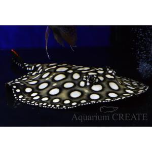ダイヤモンドポルカGalaxy♂体盤長18cm±|aquashop-create|04