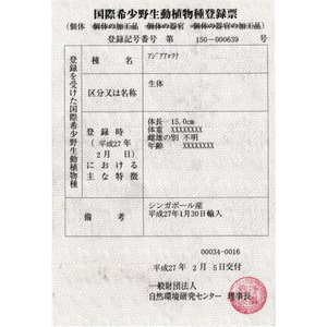 Xantic Dragon34cm±(ザンティック ドラゴン 黄変紅龍)|aquashop-create|06