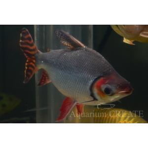 カラープロキロダス 40cm± aquashop-create 02