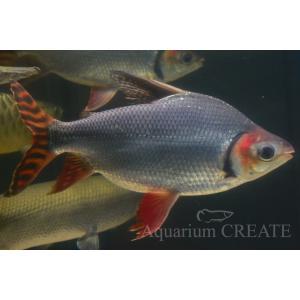 カラープロキロダス 40cm± aquashop-create 03