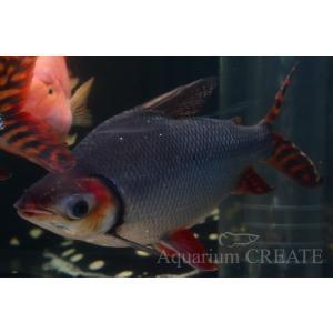 カラープロキロダス 40cm± aquashop-create 04