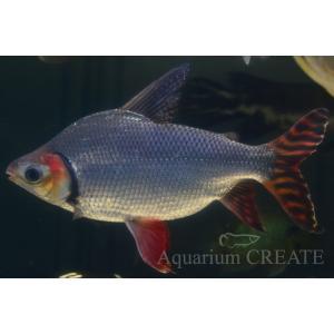 カラープロキロダス 40cm± aquashop-create 05