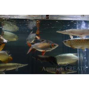 カラープロキロダス 40cm± aquashop-create 06