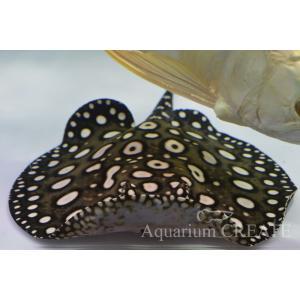 ダイヤモンドポルカ♂体盤長21cm±|aquashop-create|04