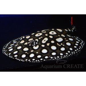 ダイヤモンドポルカ♀体盤長19cm±|aquashop-create|06