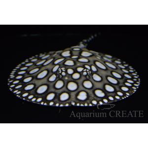 国産ダイヤモンドポルカ♀体盤長19cm±|aquashop-create|02