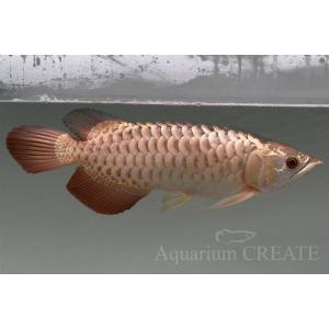 シャンロン産 ジョホールゴールデン ショート 過背金龍38cm±|aquashop-create