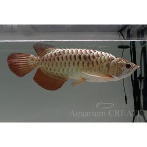 シャンロン産 ジョホールゴールデン ショート 過背金龍38cm±|aquashop-create|02