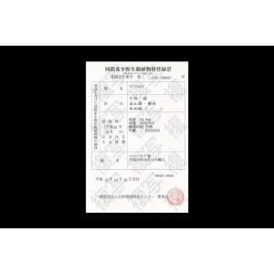 シャンロン産 ジョホールゴールデン ショート 過背金龍38cm±|aquashop-create|12