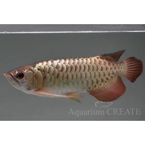 シャンロン産 ジョホールゴールデン ショート 過背金龍38cm±|aquashop-create|09
