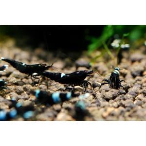ブラックシャドーキングコング SM 5匹セット|aquatailors
