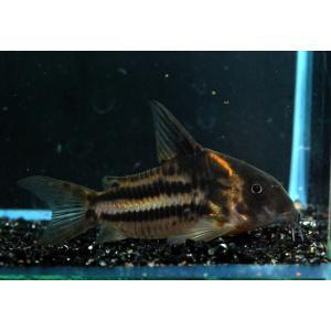 熱帯魚/コリドラス/(個体販売)コリドラス スーパーパラレルスWILD(ショートノーズビファスキアータス)No.01|aquatailors