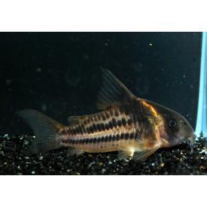 熱帯魚/コリドラス/(個体販売)コリドラス スーパーパラレルスWILD(ショートノーズビファスキアータス)No.02|aquatailors