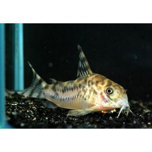 熱帯魚/コリドラス/(個体販売)コリドラス ゼブリーナ WILDリオクルア|aquatailors