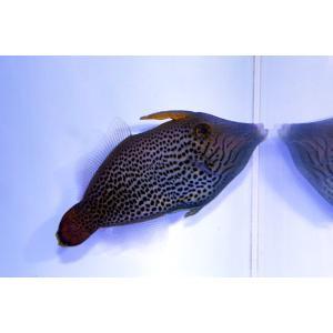 【個体販売】ハワイ産ファンテールファイルフィッシュ|aquatailors