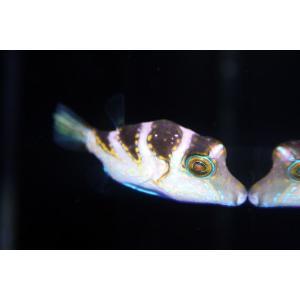 (個体販売)沖縄産ハナキンチャクフグ ベビー|aquatailors