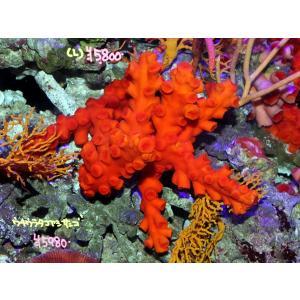 オキノセキサンゴ|aquatailors