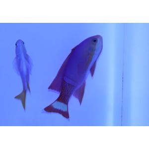 海水魚/ハナダイ/個体販売 ニューカレドニア産ペインテッドアンティアス ペア|aquatailors