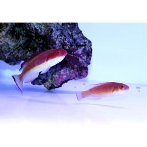 海水魚/ベラ/個体販売 ニューカレドニア産ローズフィンフェアリーラス ペア|aquatailors