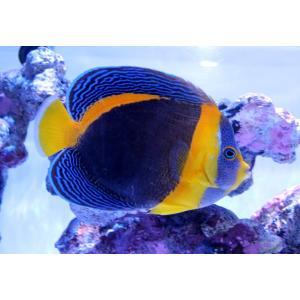 海水魚/ヤッコ/個体販売 西オーストラリア産スクリブルドエンゼル|aquatailors
