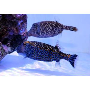 海水魚/フグ/個体販売 クロハコフグ ペア|aquatailors