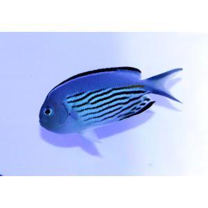 海水魚/ヤッコ/個体販売 ニューカレドニア産ヒレナガヤッコ ペア|aquatailors