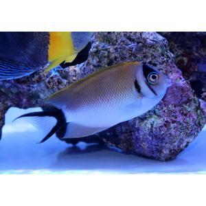 海水魚/ヤッコ/個体販売 バリ産トサヤッコ ♀|aquatailors