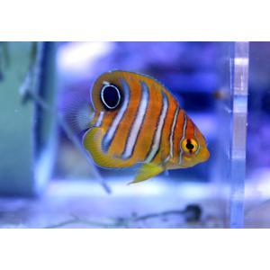 (個体販売)沖縄産ニシキヤッコ Sサイズ(No.01)|aquatailors