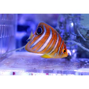 (個体販売)沖縄産ニシキヤッコ Sサイズ(No.02)|aquatailors